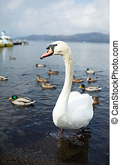 Swan and duck on the lake