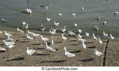 swan and seagulls on the sea coast