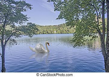Swan at Bled lake