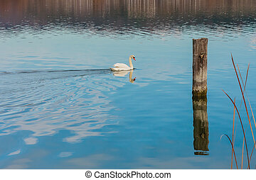 Swan at Lake Balaton, Hungary