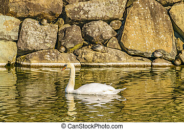 Swan at Lake, Matsumoto Castle, Japan