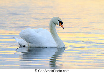 Swan at sunset in the water