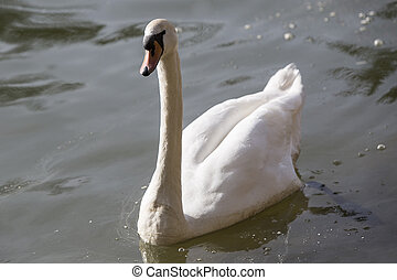 Swan at the lake