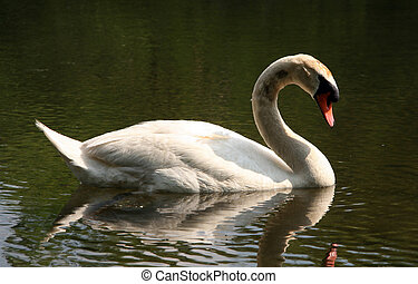 Swan by the Lake