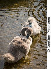 Swan cygnet - Young mute swan cygnet