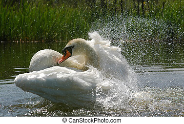 swan dive - energetic swan washing feathers