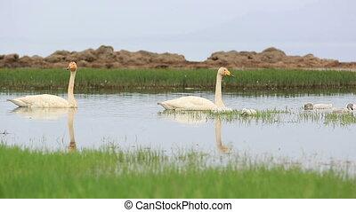swan family on the swamp