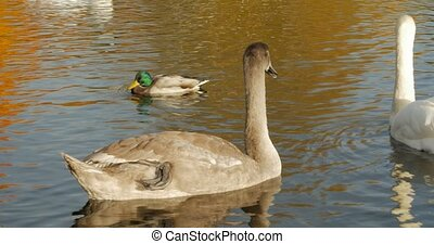Swan family with young swans on the lake.