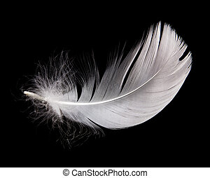 swan feather - white swan feather isolated on black...