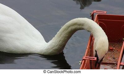 swan feeding on lake