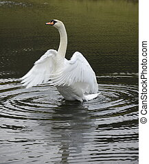 Swan flapping its wings on a lake