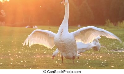 swan flaps its wings in the sunset, breath of autumn
