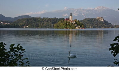 Swan floating on the lake in the early morning Bled, ...