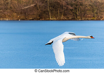 Swan flying over the frozen lake