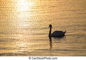 Swan in calm water by sunset