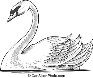 Vector illustration of swan in engraving style on transparent background.