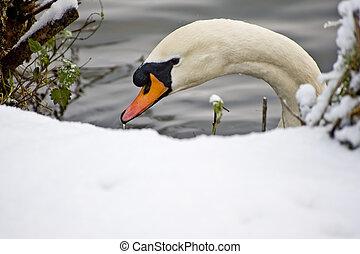 Swan in Frozen Lake