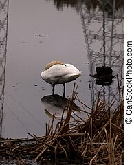 Swan in industry area