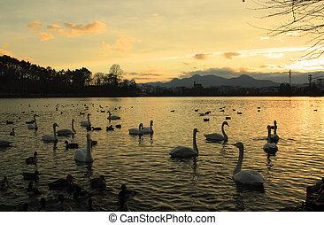 swan in Takamatu lake