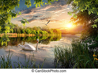 Swan in the park