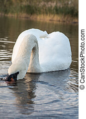 swan in the pond