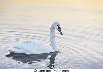 Swan in the sea. - Swan in the sea on the sunset.