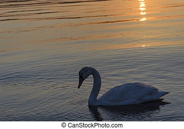 Swan in the water at sunset.