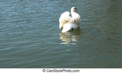 Swan-in-the water