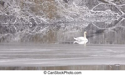 swan in the winter on the lake. Snowing