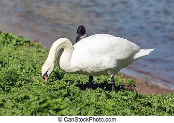 swan is eating grass