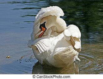 Mute swan preening his feathers