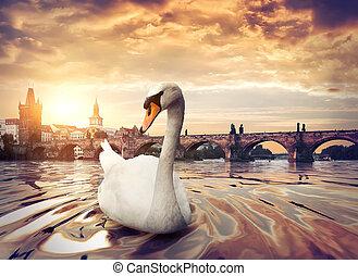 Swan near Charles Bridge