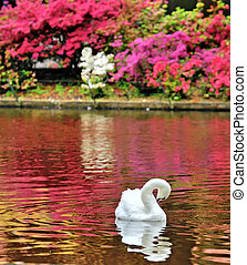 Swan on a Lake in spring time