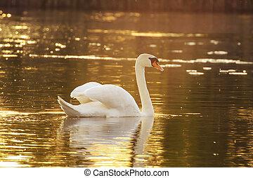 Swan on a lake in sunlight