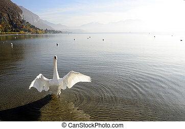 Swan on annecy lake, savoy, France