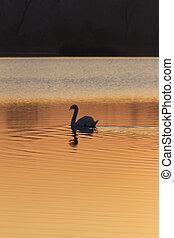 swan on lake at sunset