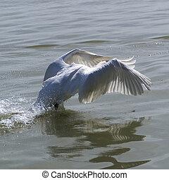 Swan on lake Balaton