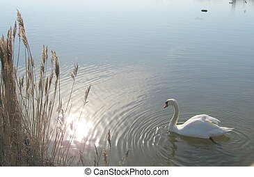 swan on lake with sun relection in water