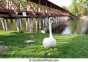 Swan on river Danube and wooden bridge in Kolarovo, Slovakia