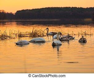 Swan on sunset lake