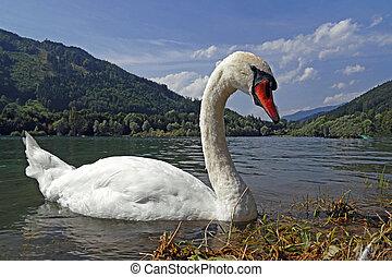 Swan on the alpine lake in Austria