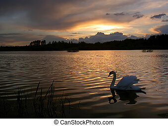 swan on the evening lake