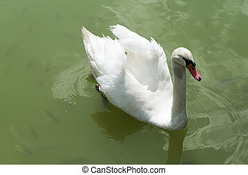 Swan on the pond.