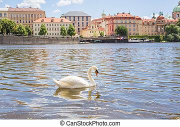 Swan on the river Vltava in Prague, capital city of Czech republic, near by Charles bridge.