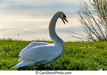 swan on the shore