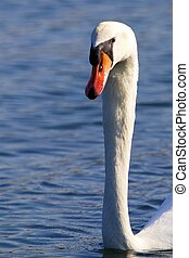 Swan on the water 01