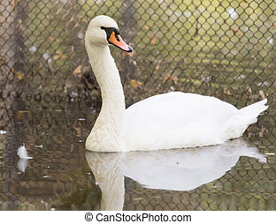 swan on the water in nature