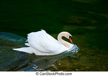 swan on the water surface