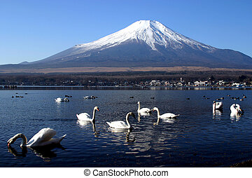 Swan Party - Swans in Lake Yamanaka with Mount Fuji in ...
