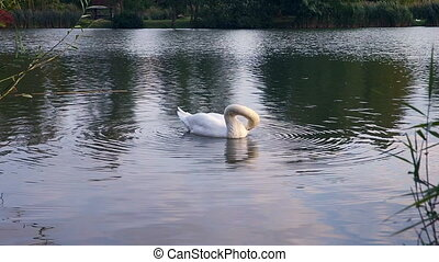 Swan preening its feathers. Swan on the water of the lake....